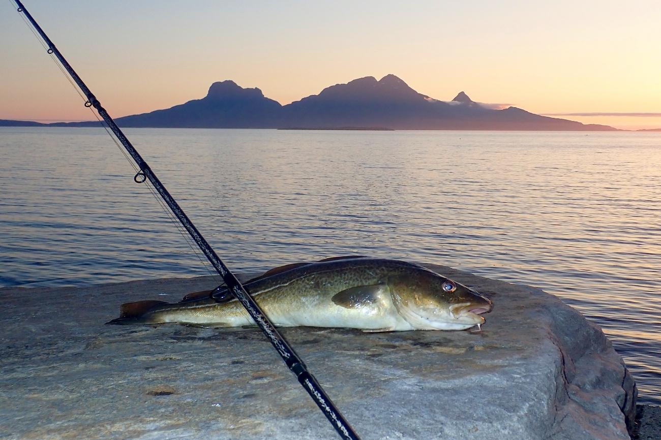Gadus morhua - Fishing Trip