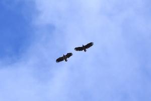 Haliaeetus albicilla - Litltinden, Bodø