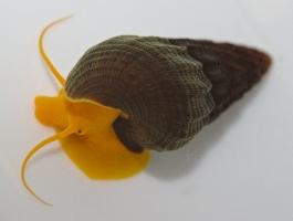 Tylomelania species Orange