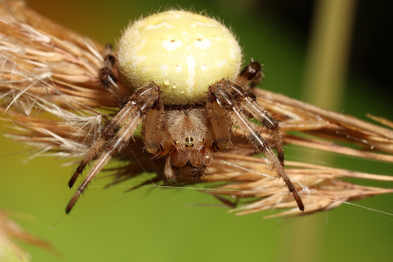 Araneus quadratus