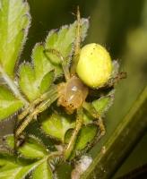 Araniella cucurbitina - female