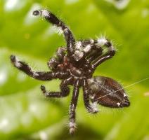 Phidippus regius - male