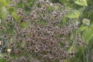 Pisaura mirabilis - nest & slings