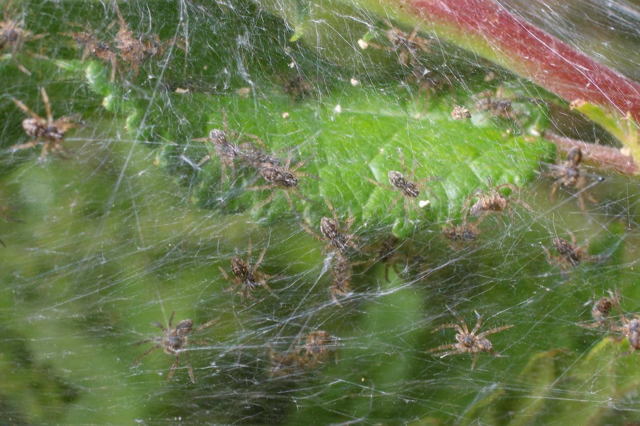 Pisaura mirabilis Nest with Slings