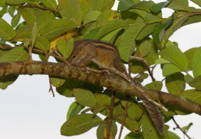 Funambulus palmarum